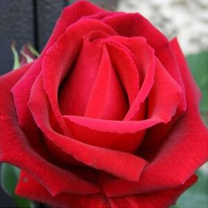 Rosa 'Ena Harkness' - Karmazsinvörös teahibrid rószsa