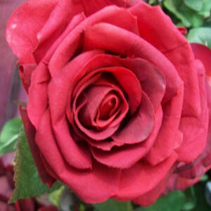 Rosa 'General MacArthur' - Sötét rózsaszín teahibrid rózsa