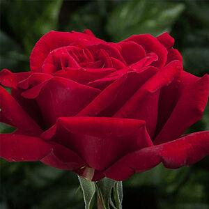 Rosa 'Ingrid Bergman' - Élénk tiszta vörös - teahibrid rózsa