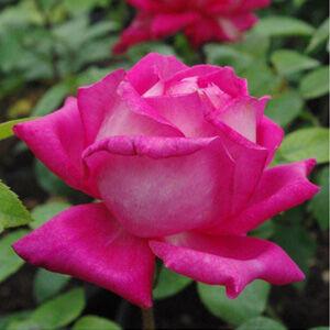 Rosa 'Isabel de Ortiz®' - Rózsaszín-ezüstfehér teahibrid rózsa