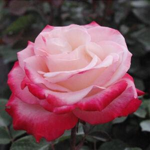 Rosa 'Nostalgie® (La Garconne)' - Krémfehér, piros sziromszéllel - teahibrid rózsa