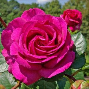 Rosa 'Lancôme' - élénk erős rózsaszín teahibrid rózsa