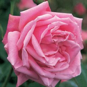 Rosa 'Madame Caroline Testout' - Rózsaszín teahibrid rózsa