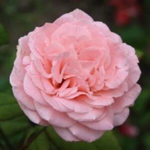 Rosa 'Marcsika' - Halvány rózsaszín teahibrid rózsa