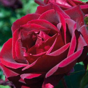 Rosa 'Meicesar' - Bordó teahibrid rózsa