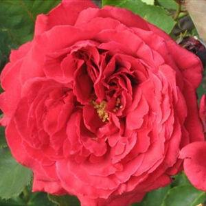 Rosa 'Pannonhalma' - meggypiros teahibrid rózsa