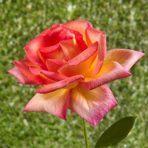 Rosa 'Piccadilly' - skarlátvörös, szirmok alja és fonákja aranysárga teahibrid rózsa