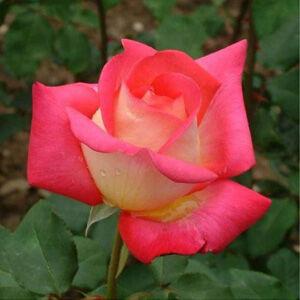 Rosa 'Rebecca®' - sárga, piros sziromfonákkal teahibrid rózsa