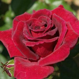 Rosa 'Royal Velvet' - sötétpiros teahibrid rózsa
