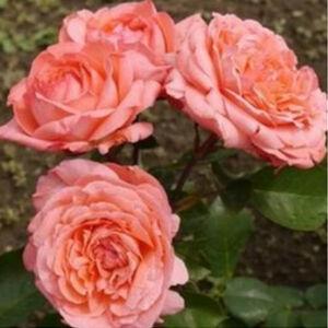 Rosa 'Succes Fou' - Barackszínű teahibrid rózsa