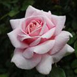 Rosa 'Violina®' - világos rózsaszín teahibrid rózsa