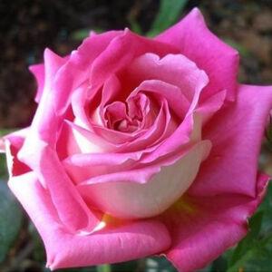 Rosa 'Tanger' - Bíbor, fehér sziromfonákú teahibrid rózsa