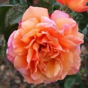Rosa 'Tapestry' - barackrózsaszín rózsaszín szegéllyel teahibrid rózsa