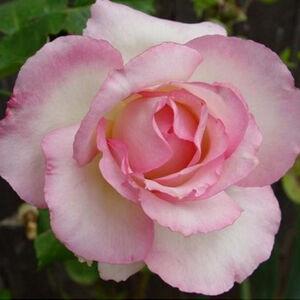 Rosa 'Tourmaline' - fehér, rózsaszín sziromszélű teahibrid rózsa