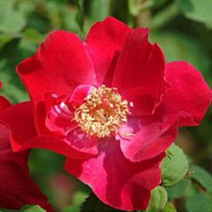 Rosa 'Eddie's Jewel' - piros vadrózsa