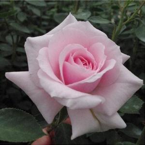 Rosa 'Felberg's Rosa Druschki' - nagyon halvány rózsaszín parkrózsa