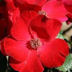 Rosa 'Robusta®' - skarlátvörös parkrózsa