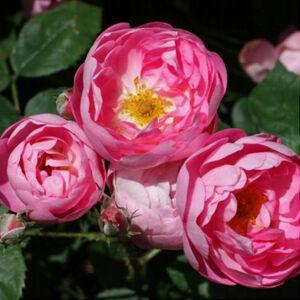 Rosa 'Raubritter®' - világos rózsaszín parkrózsa