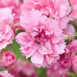 Rosa 'Pink Grootendorst' - közép rózsaszín parkrózsa