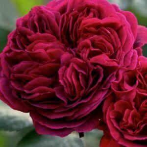 Rosa 'The Dark Lady' - Sötét vörös angol rózsa