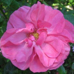 Rosa 'Titian' - Mély rózsaszín - virágágyi floribunda rózsa