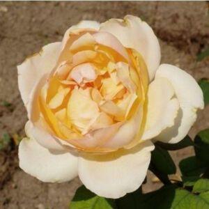 Rosa 'Topaze Orientale' - sárga és rózsaszín teahibrid rózsa