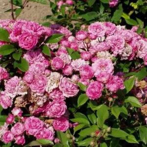 Rosa 'Bajor Gizi' - Kármin-rózsaszín törpe-mini rózsa