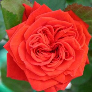Rosa 'Chica Flower Circus' - Élénkvörös mini rózsa