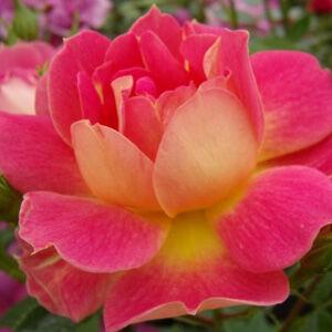 Rosa 'Cleopátra' - Sárga-piros mini rózsa