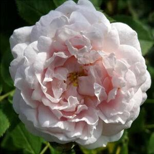 Rosa 'Ännchen von Tharau' - Krémfehér, sárga porzóval alba történelmi rózsa