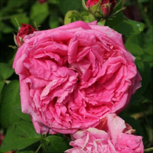 Rosa 'Aurelia Liffa' - skarlátvörös történelmi - régi kerti rózsa