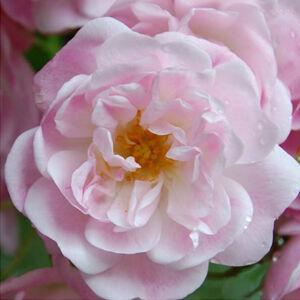 Rosa 'Belvedere' - Halvány rózsaszín sempervirens történelmi rózsa