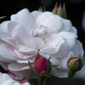 Rosa 'Blush Noisette' - rózsaszín majd fehér virágzatú történelmi - noisette rózsa