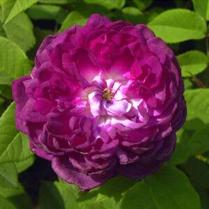 Rosa 'Cardinal de Richelieu' - sötétlila történelmi - gallica rózsa