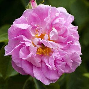 Rosa 'Celsiana' - halvány rózsaszín, arany-sárga porzóval, kifehéredik történelmi - damaszkuszi rózsa