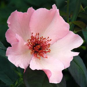 Rosa 'Dainty Bess' - Halvány rózsaszín történelmi teahibrid rózsa