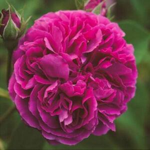 Rosa 'Erinnerung an Brod' - mályvalila történelmi - régi kerti rózsa
