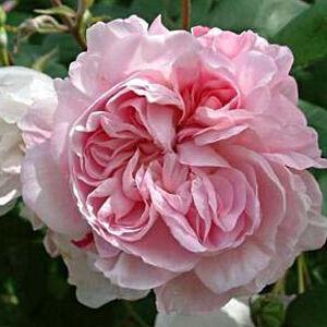 Rosa 'Fantin-Latour' - világos rózsaszín sötét belsővel történelmi - centifolia rózsa