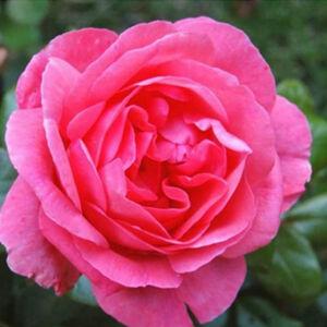 Rosa 'Frau Dr. Schricker' - rózsaszín keverék történelmi - china rózsa