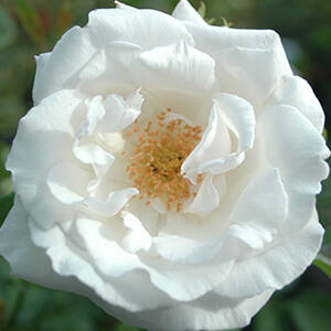 Rosa 'Frau Karl Druschki' - Fehér történelmi rózsa