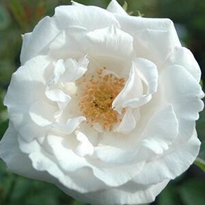 Rosa 'Frau Karl Druschki' - fehér történelmi - perpetual hibrid rózsa