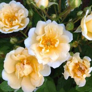 Rosa 'Goldfinch' - krémfehér, sárga pórzóval történelmi - régi kerti rózsa