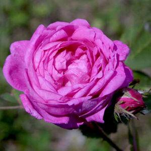 Rosa 'Himmelsauge' - lila történelmi - régi kerti rózsa