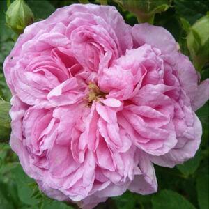 Rosa 'Ispahan' - rózsaszín történelmi - damaszkuszi rózsa