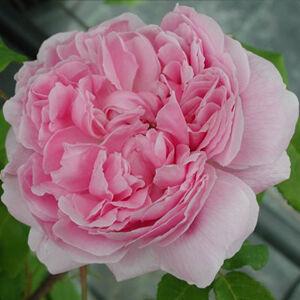 Rosa 'Jacques Cartier' - Halvány rózsaszín történelmi rózsa