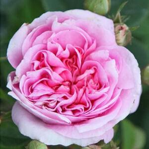 Rosa 'Königin von Dänemark' - rózsaszín sötétebb belsővel történelmi - alba rózsa
