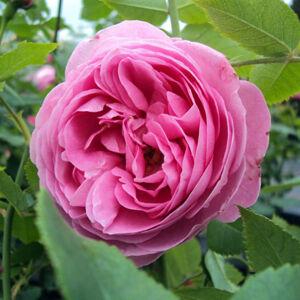 Rosa 'Louise Odier' - világos rózsaszín történelmi - bourbon rózsa