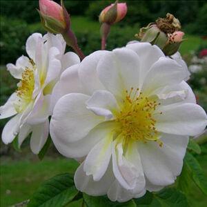 Rosa 'Lykkefund' - Fehér rambler, történelmi futó- és kúszó rózsa