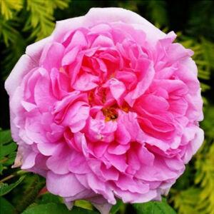 Rosa 'Madame Boll' - világos rózsaszín sötétebb centerrel történelmi - portland rózsa