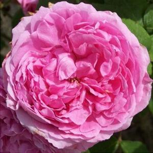 Rosa 'Madame Knorr' - Rózsaszín portland történelmi rózsa
